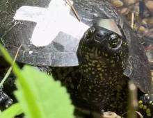 La tortue cistude à la conquête de son milieu naturel